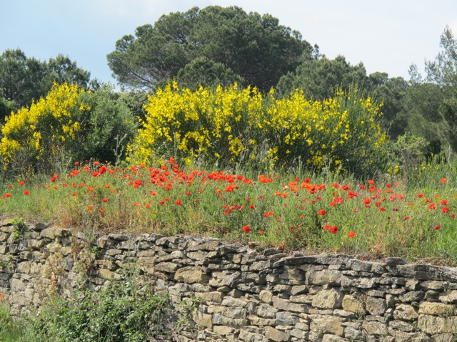 poppies along the road again