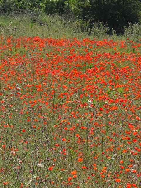 poppies in the Minervois