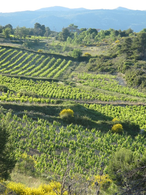 vineyard 'burst' in the Minervois