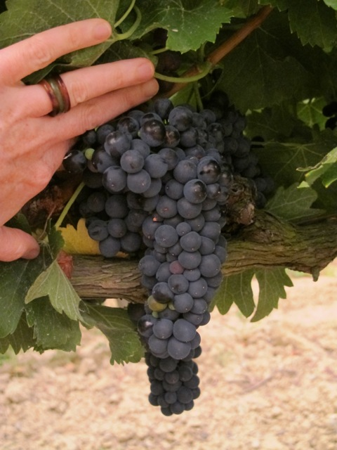 grapes this morning 2