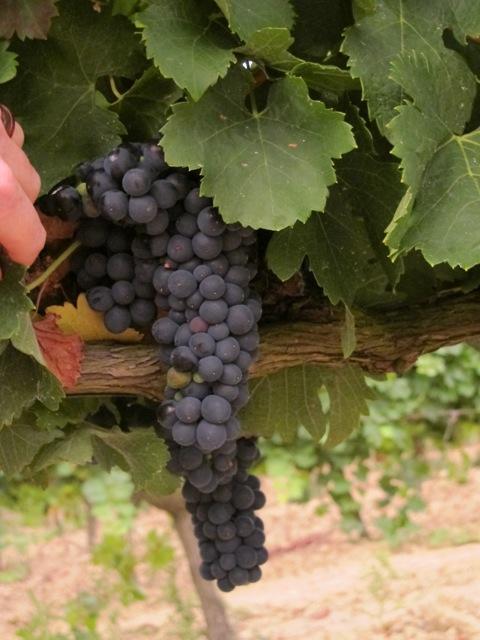 grapes this morning