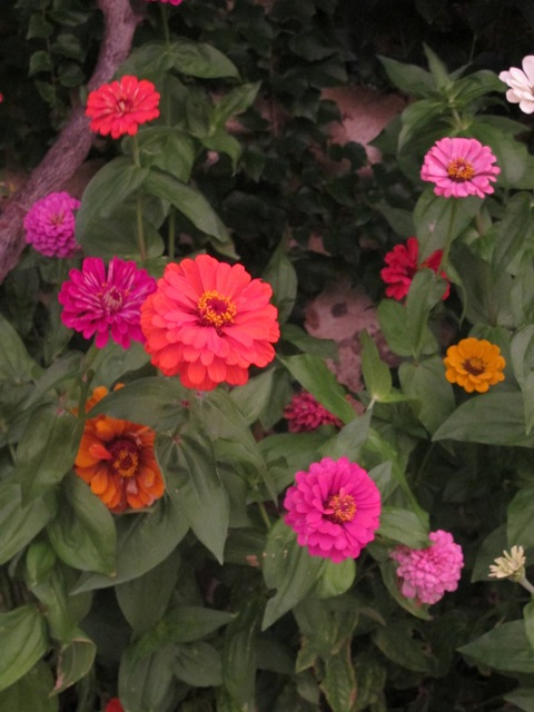 our zinnias this morning