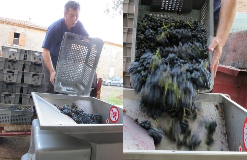 Yves emptying the grenache grapes into the crusher