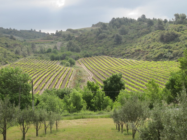 vineyards across from our house