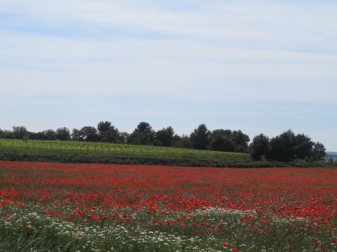 poppies - and vineyards - as far as the eye can see