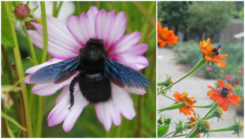 European Carpenter Bees