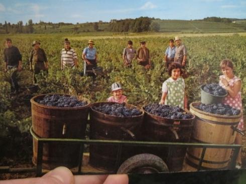 VENDANGES EN LANGUEDOC, Societe des Cartes Postales APA-POUX, ALBI - 'AS DE COUER'