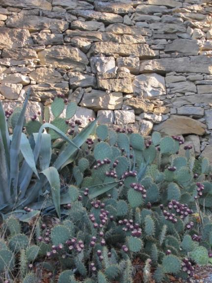 cactus in La Liviniere
