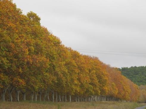 Autumn plane trees