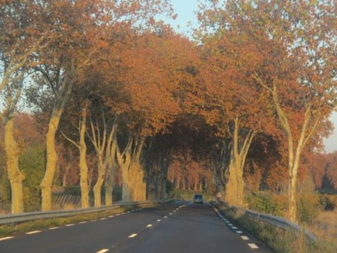 orange plane trees