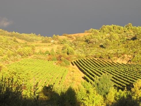 sun over vines