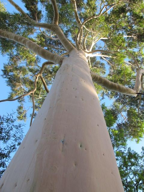 my favourite tree - a Eucalyptus (gum)