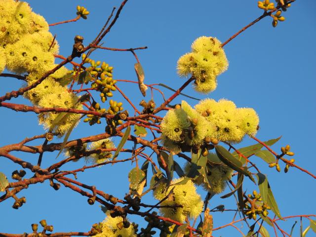 Yellow Flowering Gum