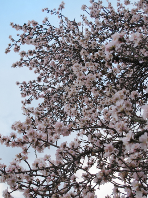 the first blossom seen in our village this year