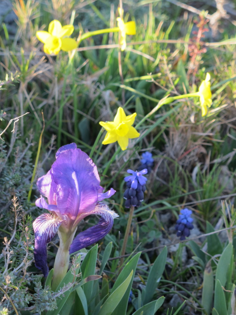 wild irises in our hamlet