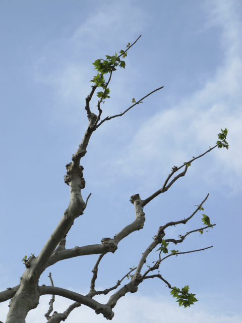 the plane (plataine) trees are budding