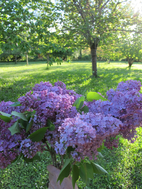 some hand-picked lilas