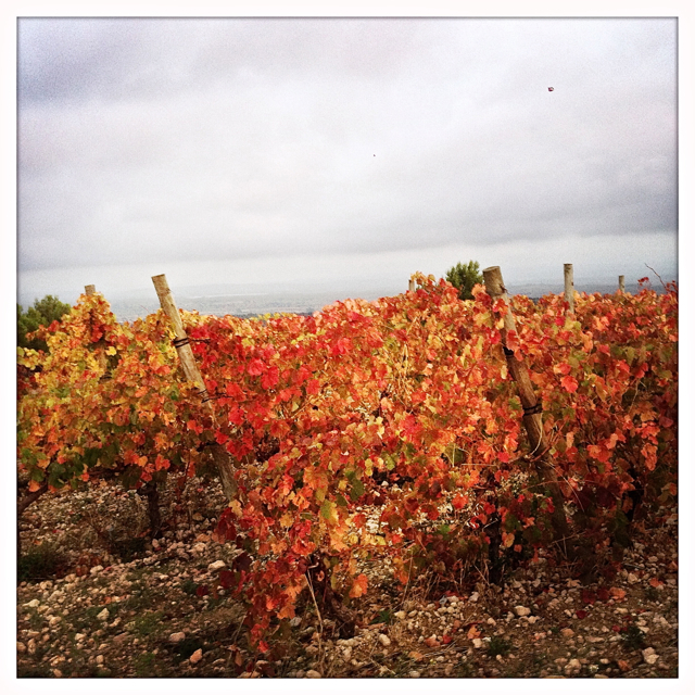 Autumn vines, La Liviniere